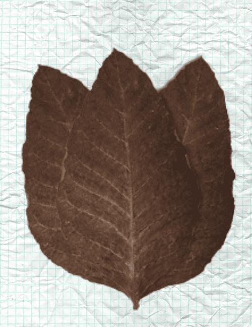 Connecticut Broadleaf tobacco